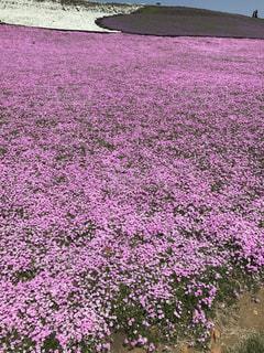 芝桜の写真・画像素材[1021791]