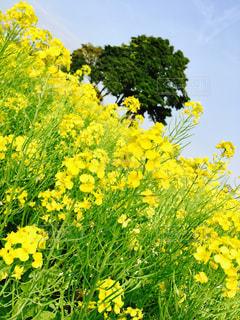 屋外,黄色,菜の花,草木