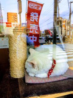 猫,動物,白,ガラス,ねこ,ペット,人物,白猫,寝てる,ガラス越し,宝くじ,首輪,まねき猫,ネコ