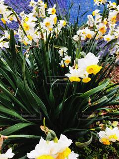 黄色,お花,水仙,グリーン,3月
