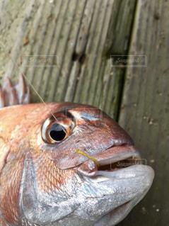 海,魚,釣り,休日,鯛,真鯛