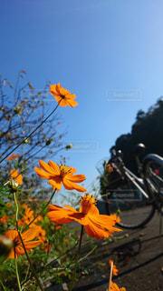 花と空と自転車の写真・画像素材[1137607]