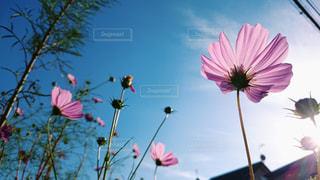 電線のシルエットとコスモスの花の写真・画像素材[1158670]
