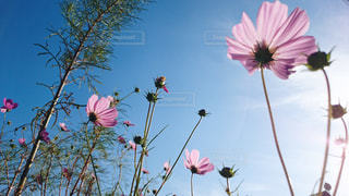 コスモスの花と太陽の光 - No.1158671
