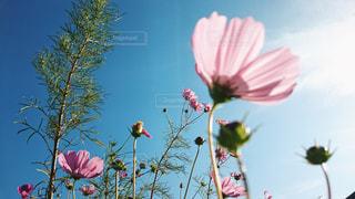 コスモスの花と青空の写真・画像素材[1158673]