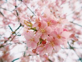桜の花 - No.1222834