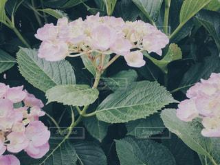花,雨,ピンク,緑,植物,あじさい,葉,景色,草,紫陽花,梅雨,6月,みどり,草木,六月,雨季,複数,アジサイ,雨期