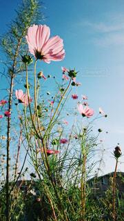 晴れた日にコスモスを下から撮った写真の写真・画像素材[1486478]