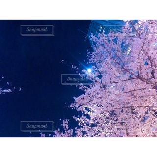 月が見下ろす桜の写真・画像素材[1130772]