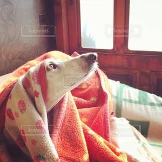 ベッドの上に座っている犬の写真・画像素材[988723]