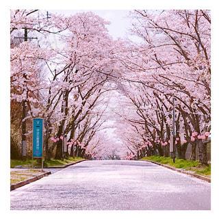 桜,屋外,ピンク,桜並木,三重県,桜散る
