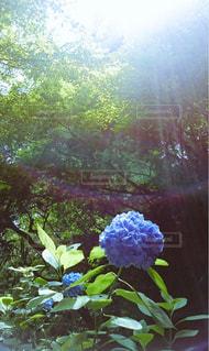 花,樹木,紫陽花,神聖