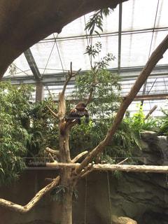 昼寝,動物園,休日,レッサーパンダ,お出かけ