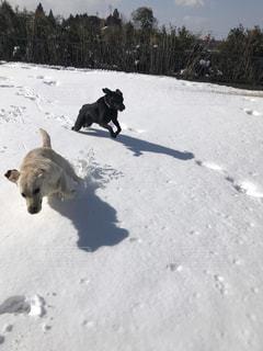 雪の中をはしゃぐ犬達の写真・画像素材[989213]