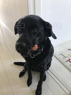 人参を加える犬の写真・画像素材[989219]
