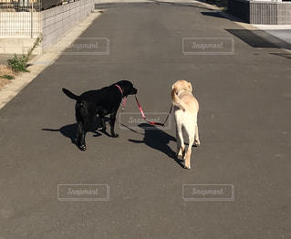 犬による犬散歩の写真・画像素材[990345]