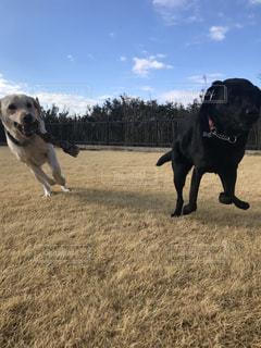 走る犬の写真・画像素材[993982]