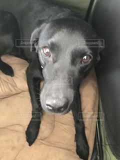 ベッドの上で横になっている黒犬の写真・画像素材[994627]