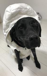 人間用のダウンベストを着た犬の写真・画像素材[995445]