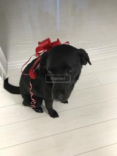 犬,動物,赤,黒,ペット,リボン,可愛い,ラブラドールレトリーバー