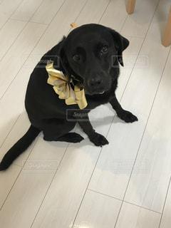 犬,動物,黒,ペット,リボン,可愛い,ラブラドール,ラブラドールレトリーバー,金色