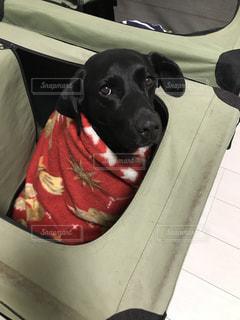 ゲージで毛布にくるまって寝る犬の写真・画像素材[1003929]