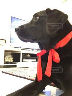 犬,赤,黒,ペット,リボン,可愛い,ラブラドール,ラブラドールレトリーバー