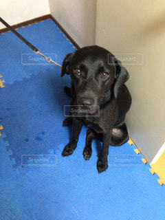 黒犬の写真・画像素材[1004994]