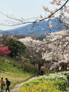 桜咲く山をハイキングの写真・画像素材[1008923]