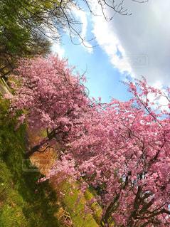 枝垂れ桜と空の写真・画像素材[1112552]