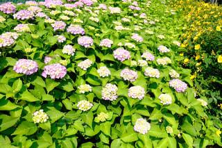 花,屋外,紫陽花,flower,梅雨