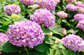 花,屋外,紫,紫陽花,flower,梅雨,6月