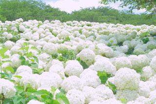 花,屋外,紫陽花,梅雨,6月,埼玉県
