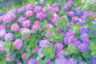 花,屋外,紫,紫陽花,flower,梅雨,6月,埼玉県