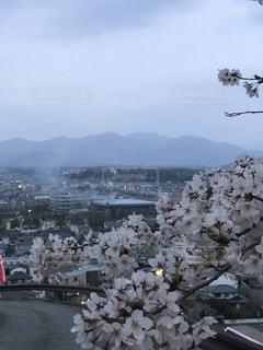 夜桜,満開の桜,桜の名所 津山