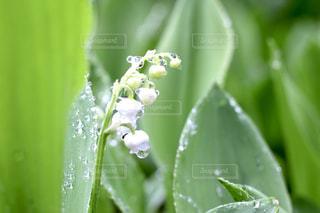 庭,季節,可愛い,初夏,スズラン,可憐,しあわせ,すずらん,しろい,朝時間