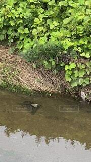 夏,川,田舎,樹木,生物,清流,とんぼ,川のせせらぎ,朝時間,朝さんぽ,羽黒とんぼ,トンボのダンス