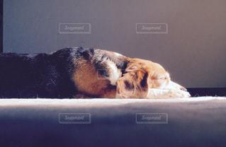 フローリングに横たわる犬の写真・画像素材[990816]