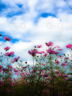 空,花,秋,コスモス,鮮やか,秋桜,亀岡,夢コスモス園