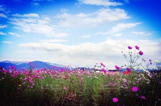 空,花,鮮やか,秋桜,iPhone7plus,亀岡,夢コスモス園