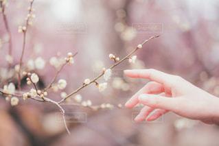 女性,1人,花,春,京都,ピンク,白,梅,枝,手,ぼかし,指,人物,人,日本,儚い,指先,指差し,梅林,2月,白梅,立春