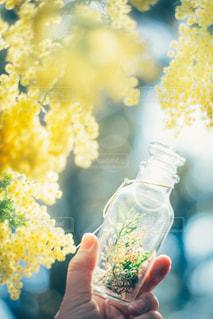 花を持つ手 ミモザの写真・画像素材[3007157]