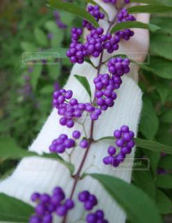 紫色のお花の写真・画像素材[1015784]