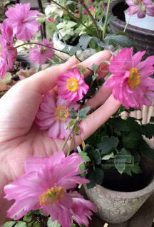 ピンクのお花との写真・画像素材[1015831]