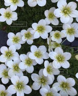 白いお花の写真・画像素材[1079196]