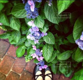 帰り道の紫陽花の写真・画像素材[1258591]