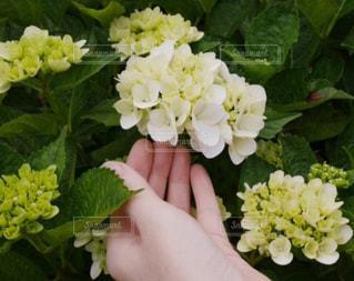 山紫陽花の写真・画像素材[1260827]