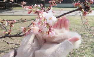 桜 まだ蕾だったのの写真・画像素材[1821378]