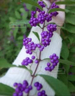白いセーター着て行ったの。コムラサキが咲いてたの。の写真・画像素材[2157186]