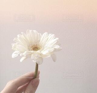 女性,モデル,自然,ネイル,植物,白,マーガレット,花びら,女子,お花,指,手持ち,美しい,人物,ポートレート,爪,ホワイト,指先,ライフスタイル,ガーベラ,美肌,手元,色白,手タレ,つめ,手もと,ポトレ